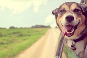 A happy German Shepherd Mix Breed Dog is hanging his tounge out of his mouth as he sticks his head out a car window while on a family road trip. Vintage style color.